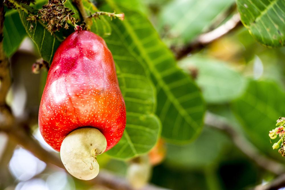hoe groeit ons eten - cashew