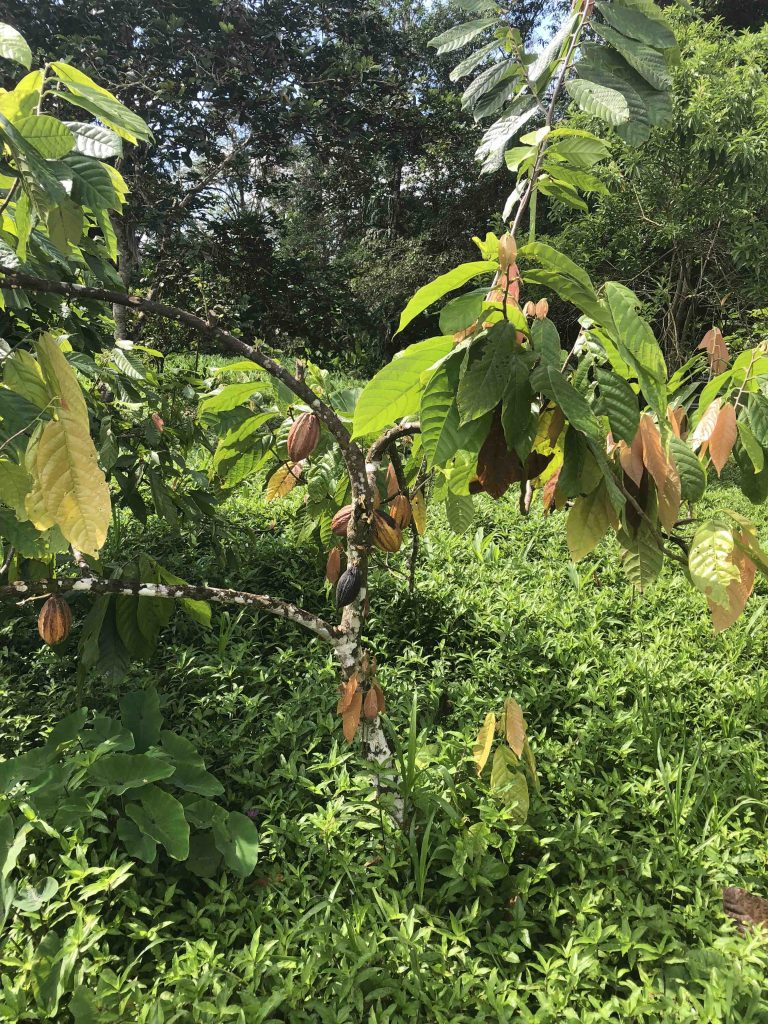 reis door panama - cacaobonen
