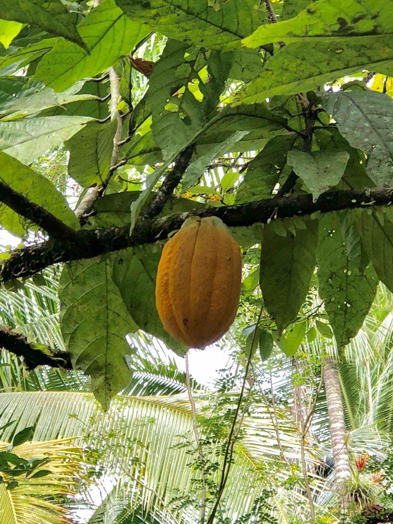 Reis door Panama - rijpe cacaovrucht