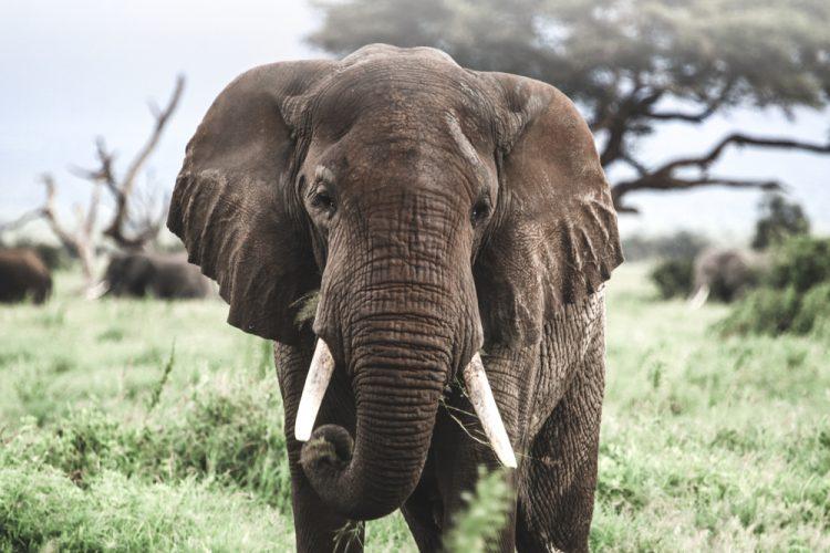 Red de Afrikaanse olifant met Amarula (+ WINACTIE!)
