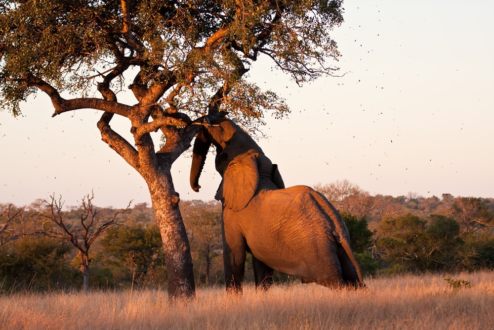 Red de Afrikaanse olifant met Amarula