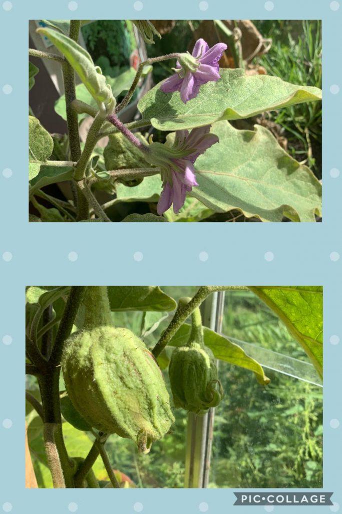 Uit de moestuin - aubergines