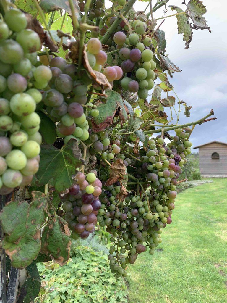 uit de moestuin- druiven