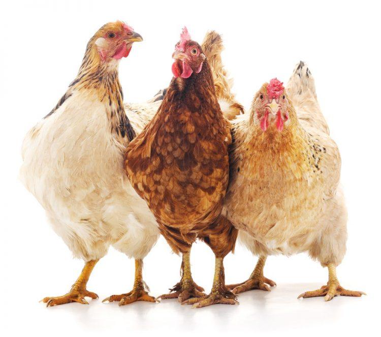 kip in nederland - kippen