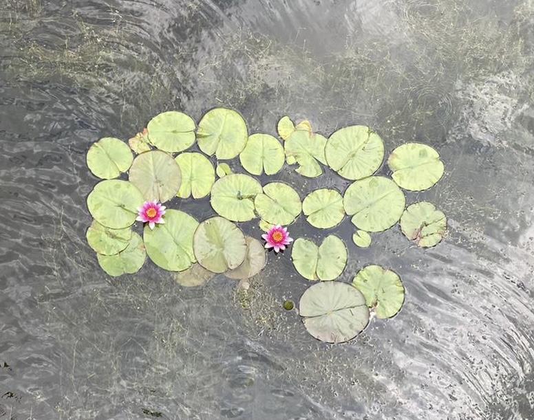 Waterlelies