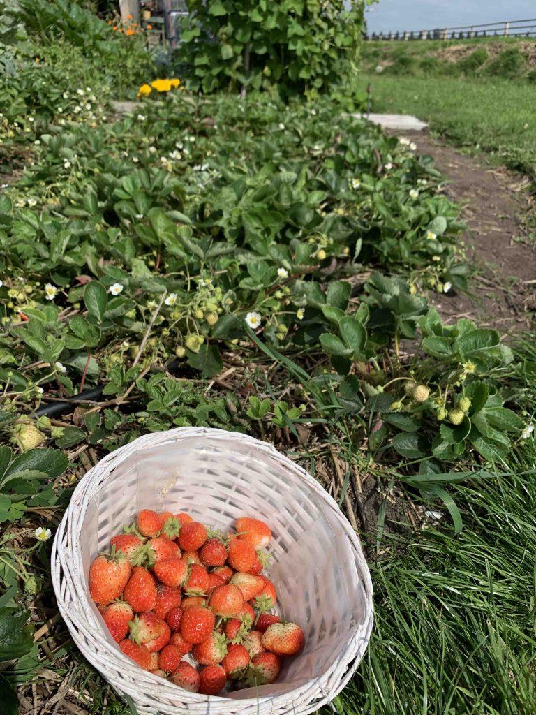 Uit de moestuin - aardbeien